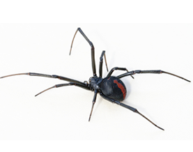 Red-black Spider Pest Control